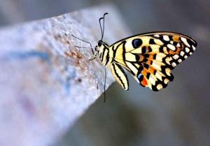 beautiful-swallowtail-butterfly