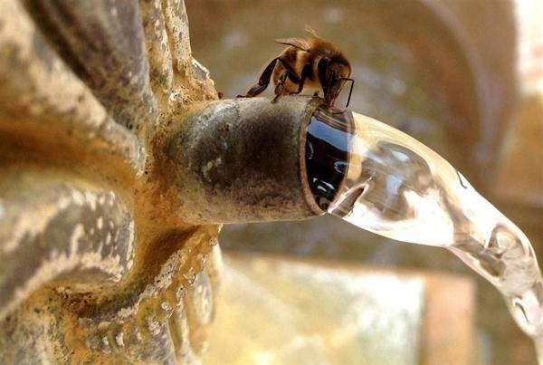 نحلة تشرب ماء سبحان الله