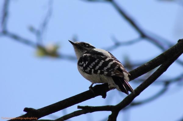 Downy Woodpecker 011