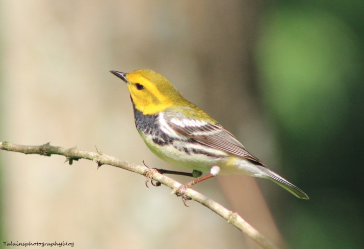 Black-throated Green Warbler 042