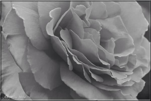 15/ Petals Unfolding